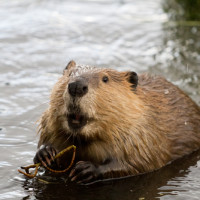 Possums, beavers and gars: Oh my!