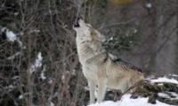 Smorgasbord of wolf bayings